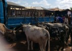 Cattle rustlers abandon truck with 8 cows