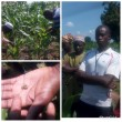 USAID-Advance introduces Plant doctors to help farmers fight pest